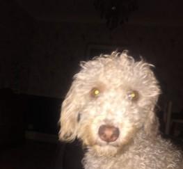 Pets  - Beddie Poo ( Bedlington X Poodle)