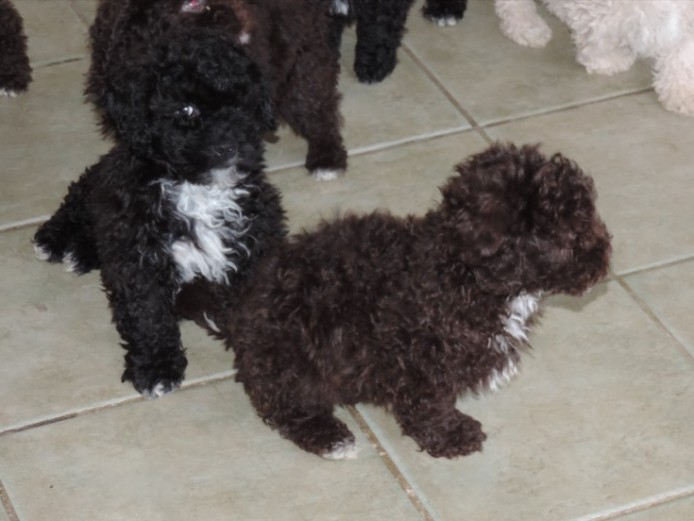 Delightful Shihpoo Puppies. Ready Now!!