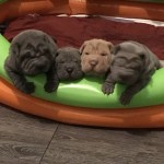 Brush Coat Shar Pei Puppies