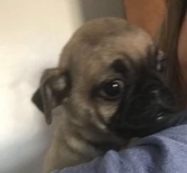 Pets  - *super Cute* Male Puggle