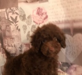 Fabulous Maltipoo Puppies * Ready Now *