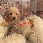 Truly Scrumptious Very Rare Toy Maltipoo Puppies
