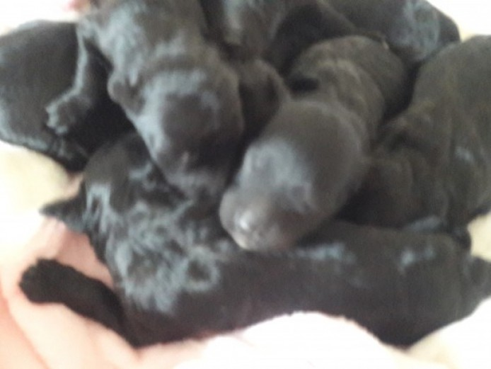 Colliepoo Borderdoodle Puppies. 1 Boy 1 Girl Left!