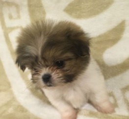Pets  - Malshi Pups Forsale
