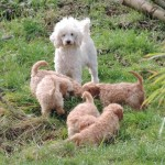 F1 Cavapoo Puppies For Sale. Ready Now.