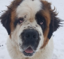 Pets  - 14 Month Old Saint Bernard Bitch