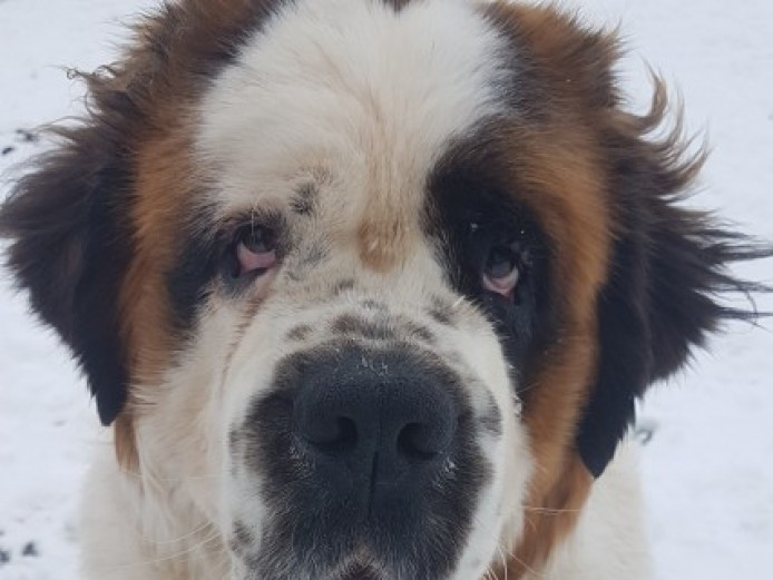 14 Month Old Saint Bernard Bitch