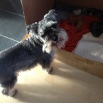 Mini Schnauzer Puppies Kc Reg For Sale
