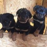Massive Rottweiler Pups