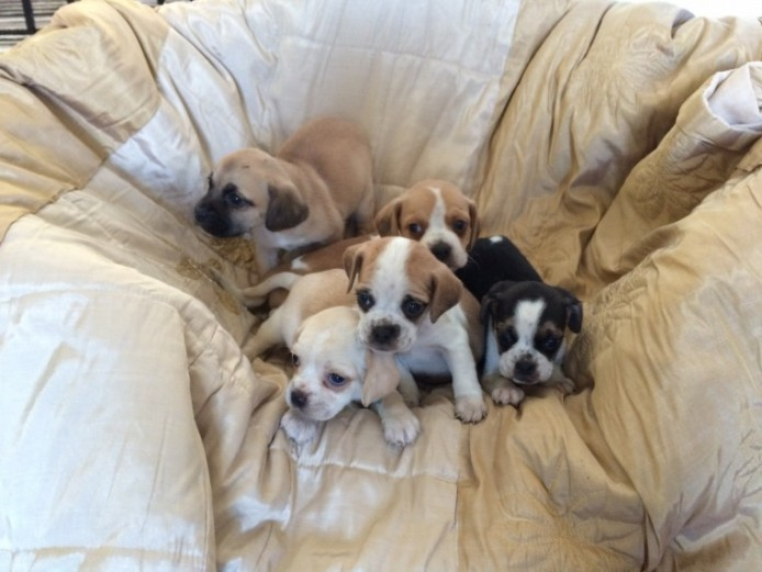 F2 Puggle Puppys