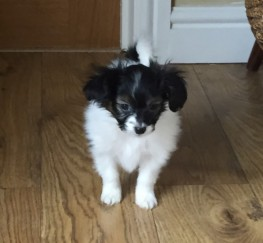 Pets  - Beautiful Papillon Puppies