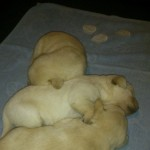 Chunky Labrador\s Puppies For Sales