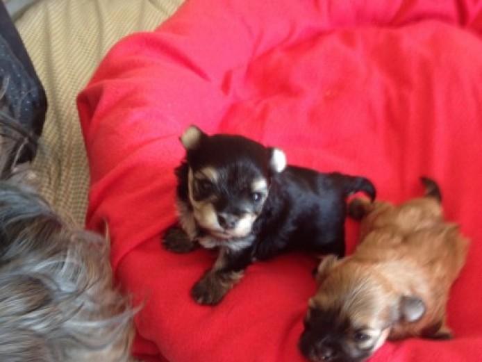 Beautiful Malshi Puppies