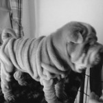 Kc Registered Lilac Shar Pei Pup