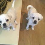 Puggle Puppies Ready To Leave Now
