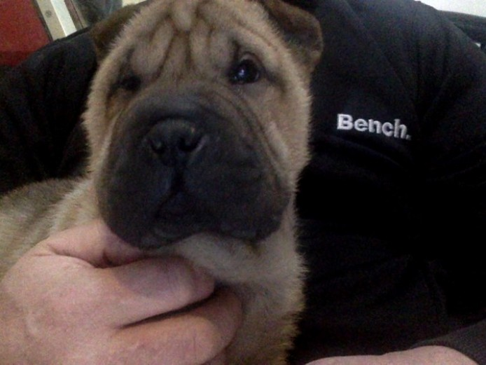 Kc Sharpei Puppys Ready To Leave Now