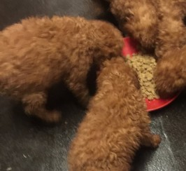 Fox Red Miniature  Poodle Ready Now
