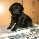 Kc Reg Labrador Black Yellow Puppies Boys Girl