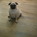 Beautiful Kc Pug Pups Fully Vacainated