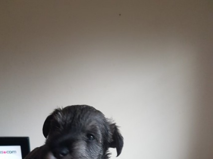 3 Georgous Minature Schnauzers For Sale