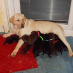 Black & Chocolat Puppy For Sale