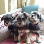 Mini Schnauzer Pups. 2 Females Now Available.