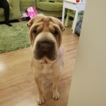 Beautiful Kc Registered Shar Pei Puppies.