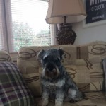 Kc Reg Miniature Schnauzer Bitch For Sale