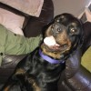 Pets  - Rottweiler For Re-homing.