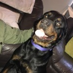 Rottweiler For Re-homing.