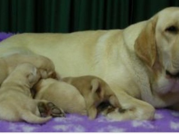 Kc Registered Labradors Pups For Reserving