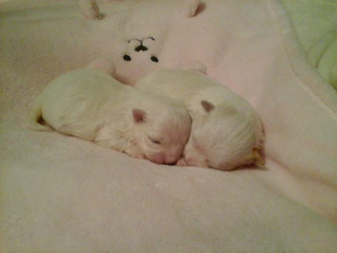Full Kc Maltese Terrier Puppy\s