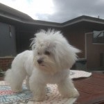 Beautiful Tiny Malshi Maltese X Shih Tzu F1