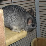 Chinchillas A selction of Colours and Ages