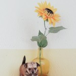 4 gorgeous chihuaha puppies