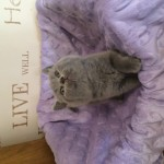 British shorthair babies