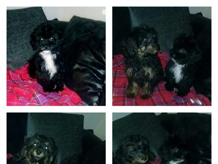 Springer spaniel cross poodle