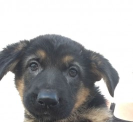 german shepher puppies for sale