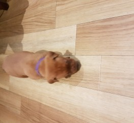 Pets  - KC REG Dogue de bordeaux pups for sale