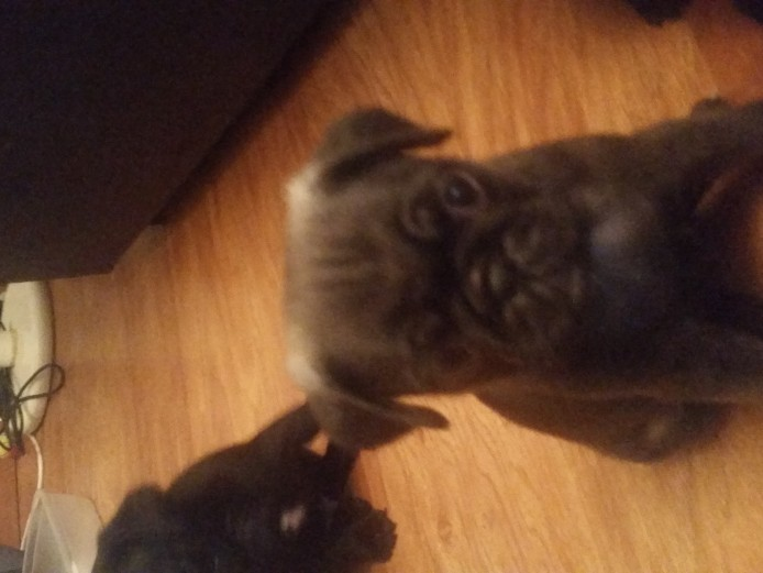 6 beautiful pug puppies