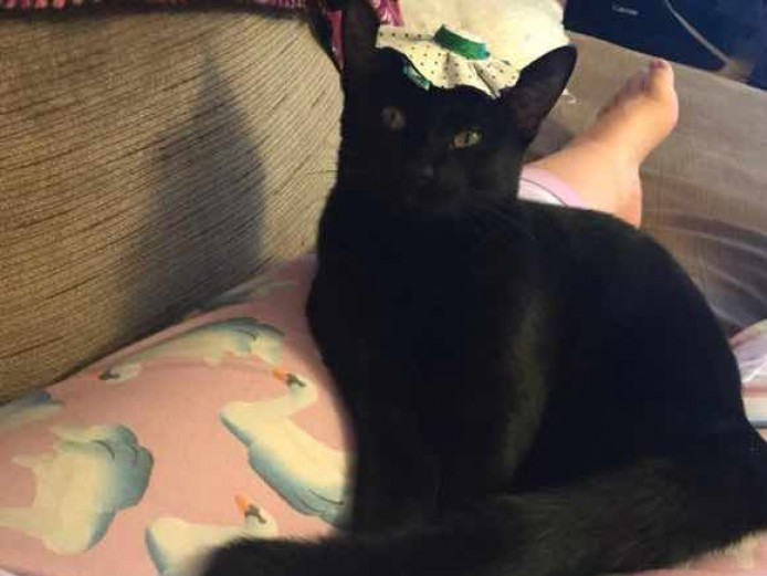 Male Abyssinian black cat 1 year old