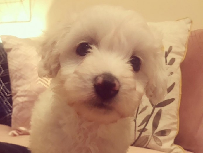 Poochon Cross Puppies - Crestepoos 2 girls left ready now