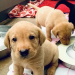 KC Registered Labrador Pups