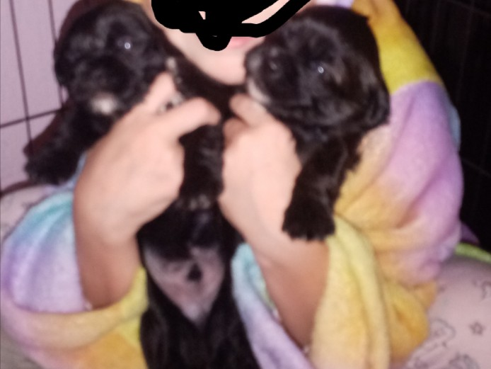 Litter of 8 shorkie puppies