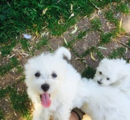 Pets  - home reared potty trained  Coton De Tulear Dog puppies