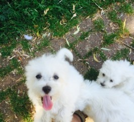 home reared potty trained  Coton De Tulear Dog puppies