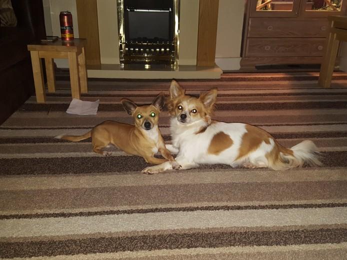 3/4 Chiuhaha x Miniature Jack Russel Puppies