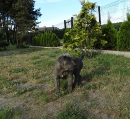 Lovely Cane Corso puppies Blue/brindle with lovely eyes