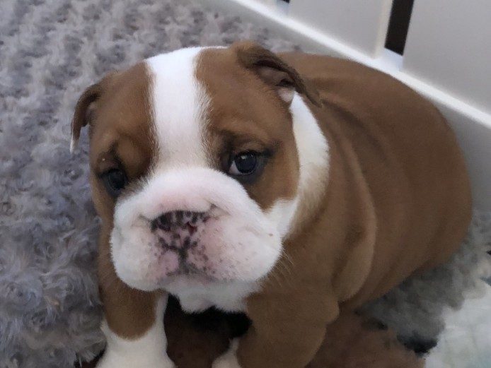 KC registered bulldog puppies 1 girl 1 boy