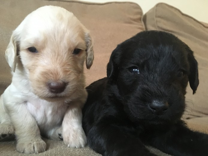 Labradoodle Puppies F1